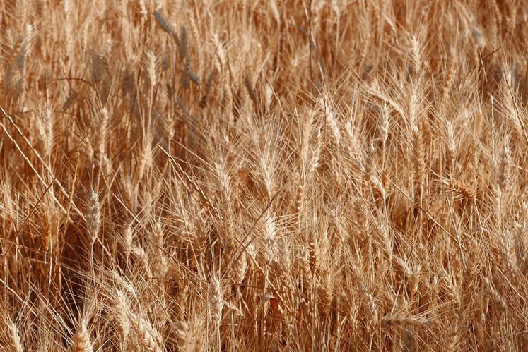 campo cereales Colungo