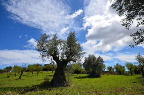 Paisaje Colungo olivos