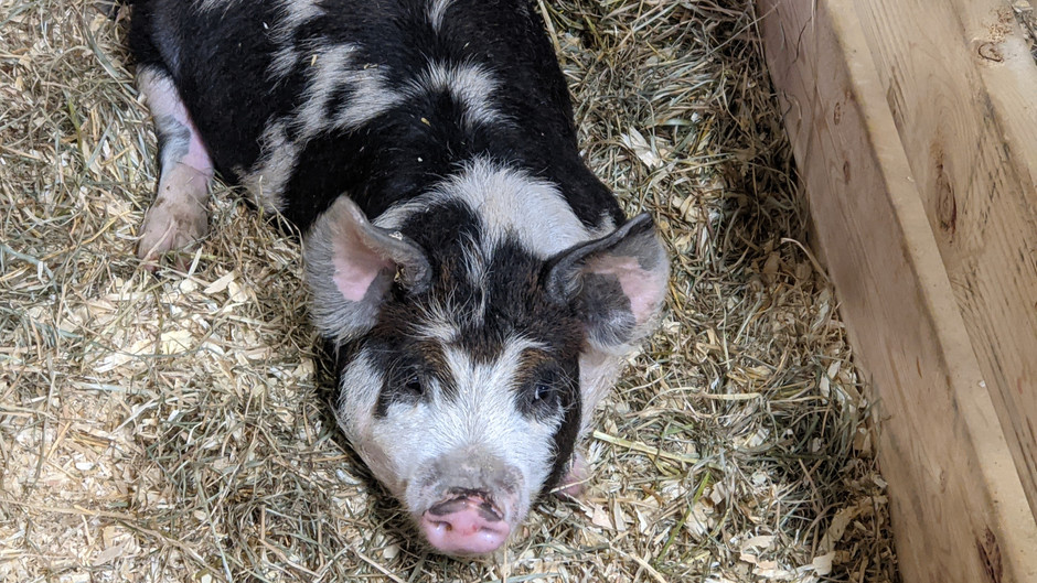 What - ANOTHER pig?