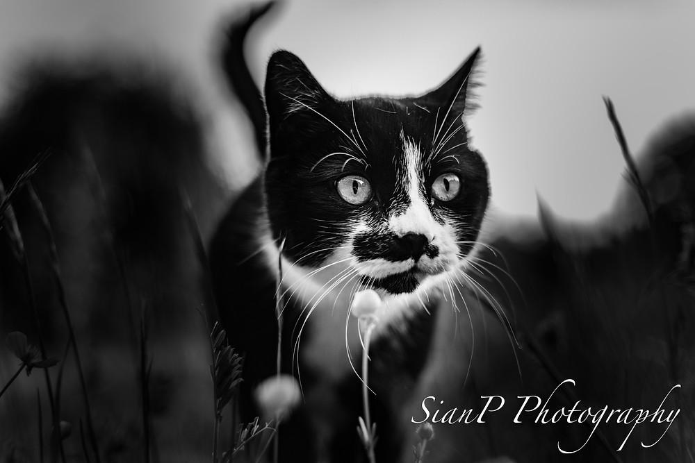 close up of a cat walking through grass.