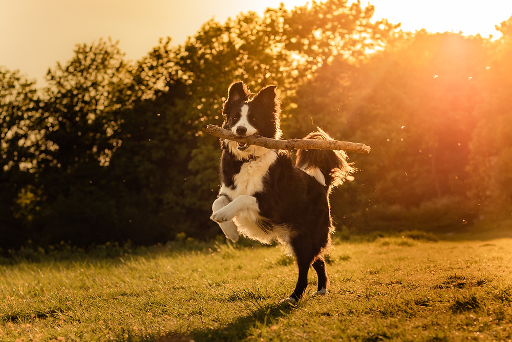 border collie running with stick at golden hour having fun