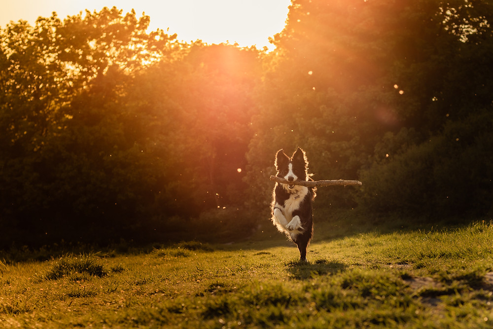 Golden hour pet photoshoot in Aylesbury