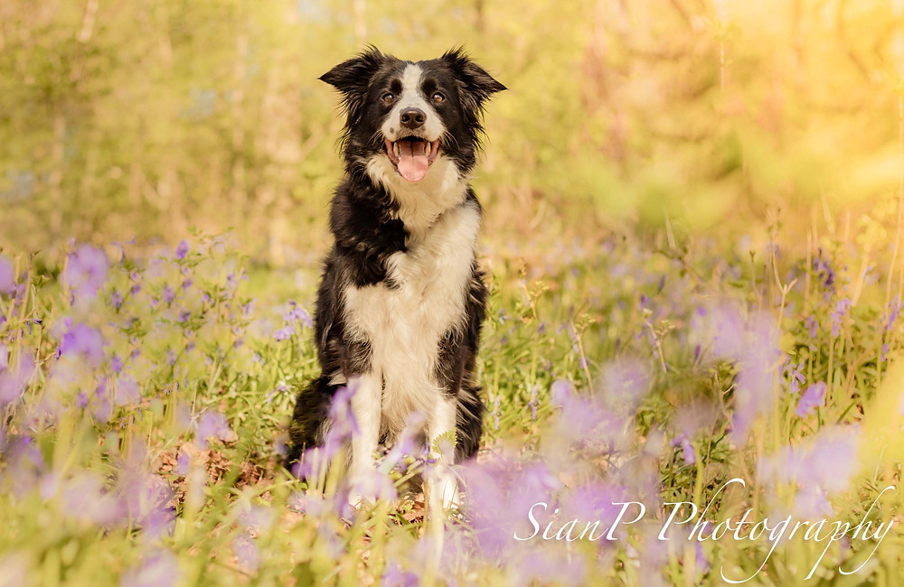 Border collie sat in bluebells for a photoshoot in buckinghamshire