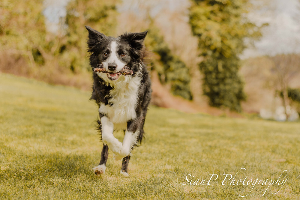 Action shot of border collie in Buckinghamshire