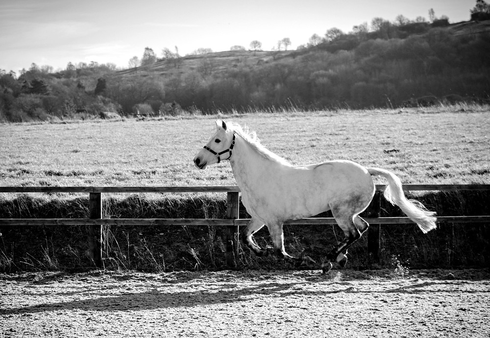 white horse galloping through field