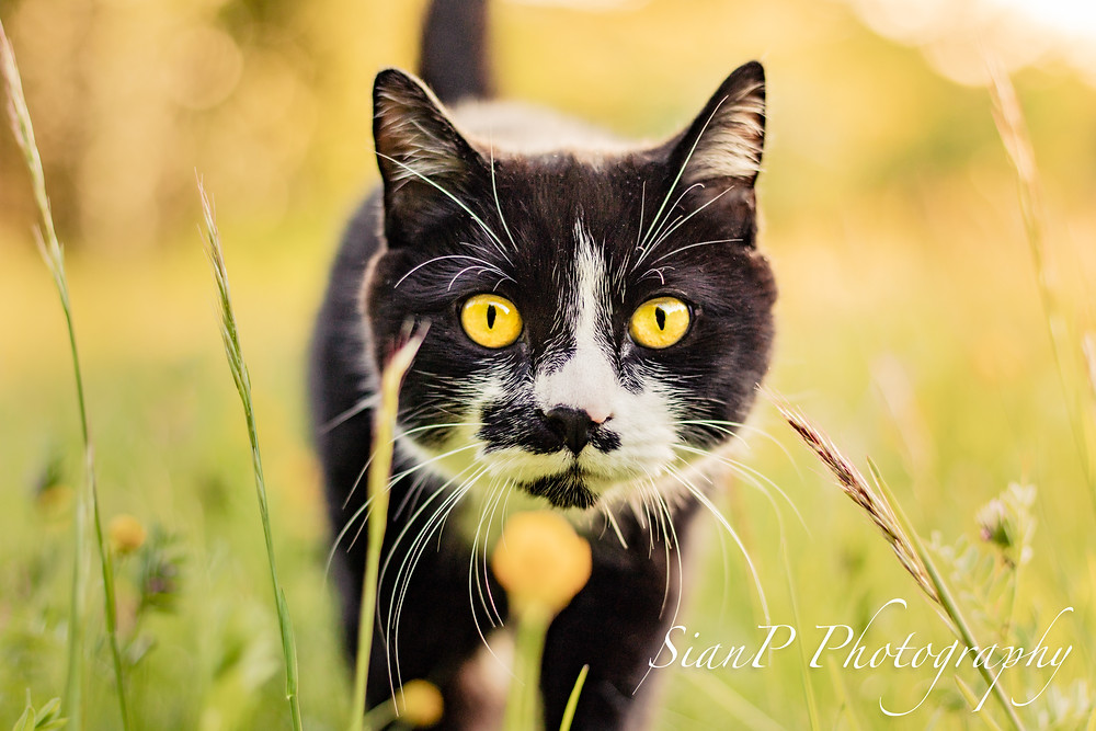 black and white cat in grass - how to take pet photographs