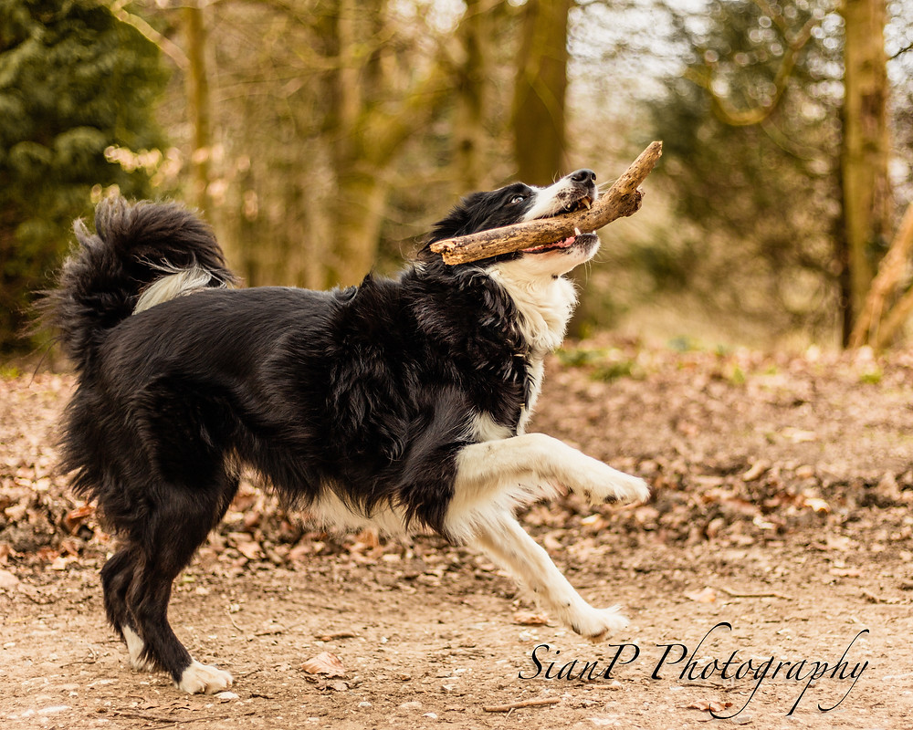 border collie playing with sticks on a wendover pet photoshoot
