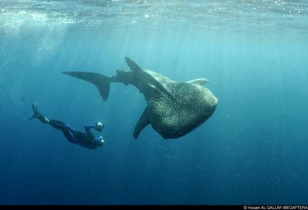 Un plongeur et un requin-baleine semblent danser dans les eaux.