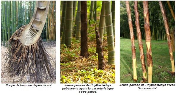 Coupe de bambou