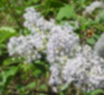 Lilac%20blossom%20and%20bee%20landing_ed