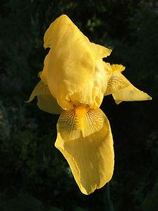 Yellow Iris CGA May 7 2018.jpg