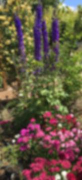 Delphinium Dianthus Chakra Garden copy.J