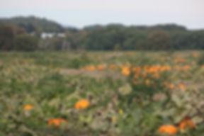 pumpkin fields vermont