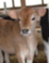 jersey cows vermont dairy