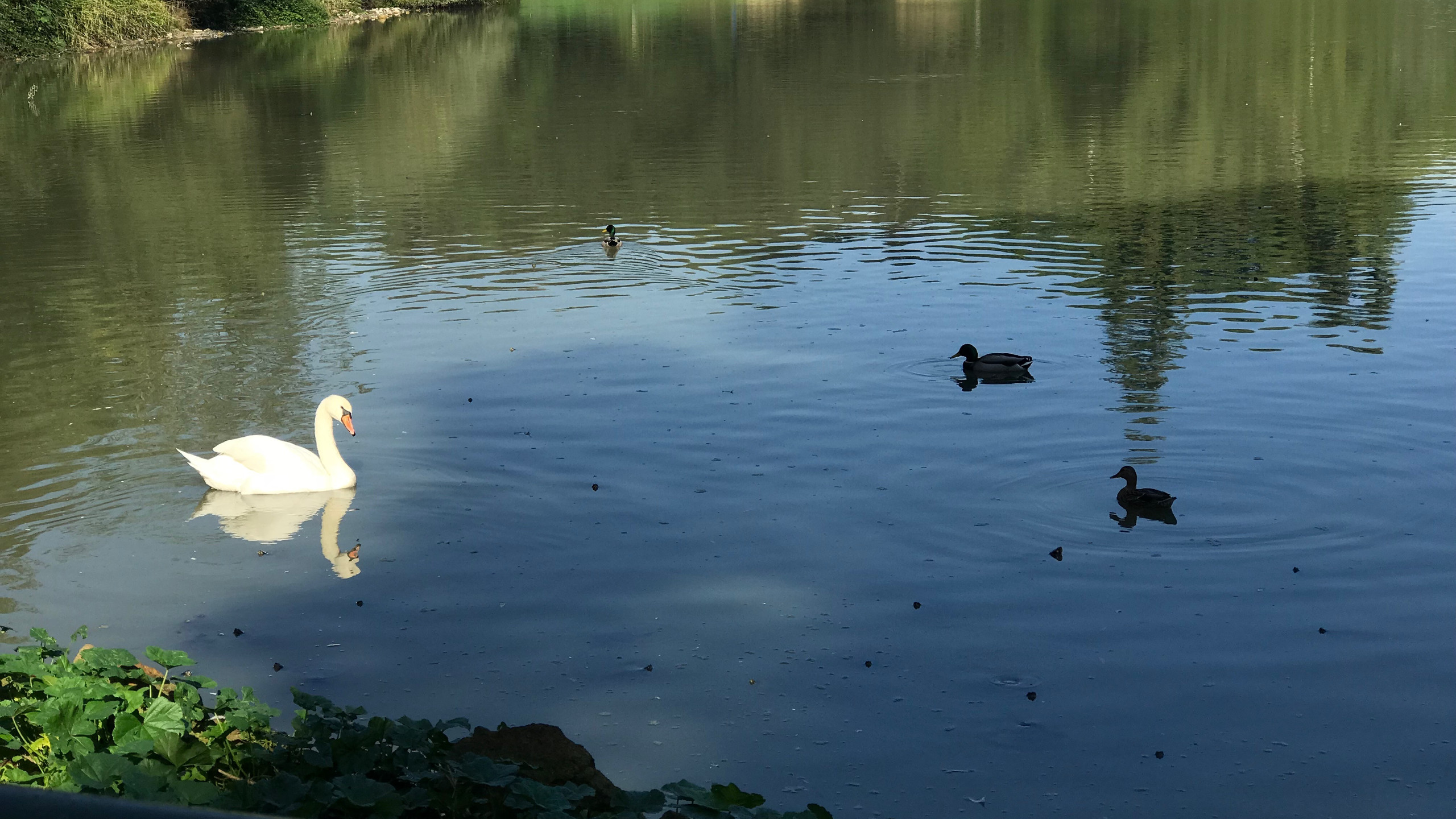 Swans and ducks at the park.