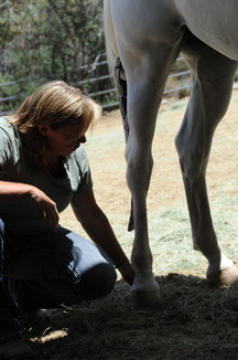 equine massage of ting points
