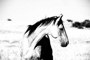 StallionBreeze650.jpg
