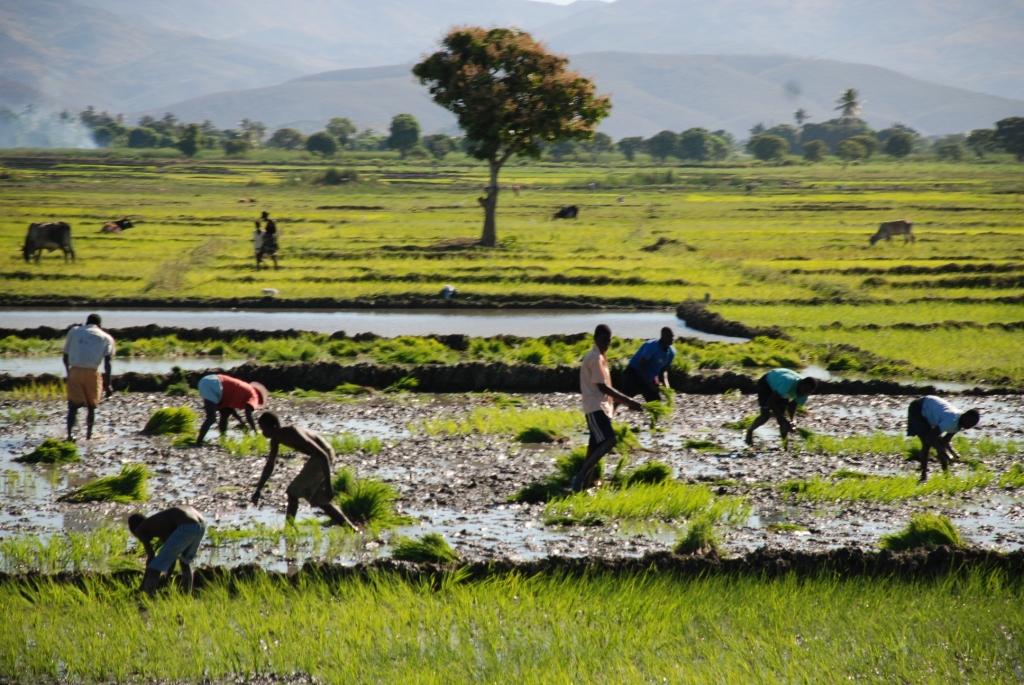 riz plaine de l artibonite.jpg