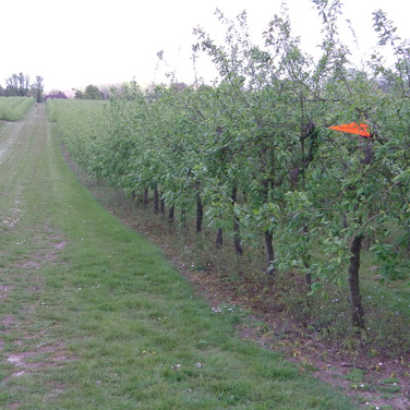 Route turns along wide stretch between apple trees