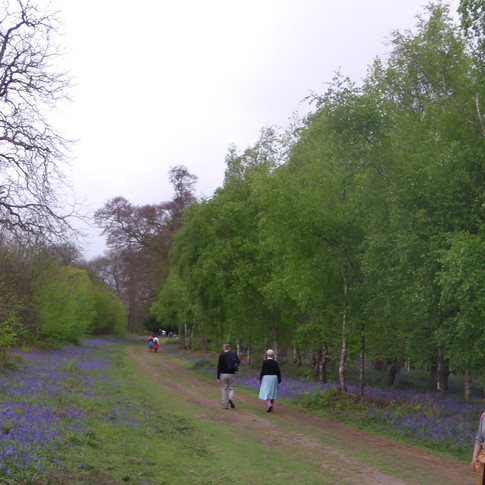 Bluebells bordering the wide track