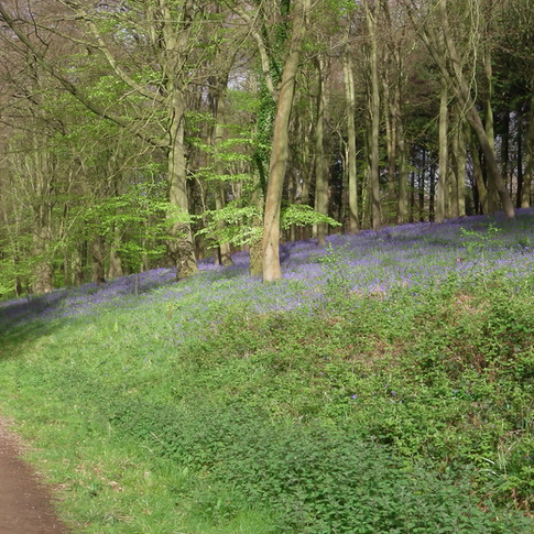 Bluebells on lower bank of track