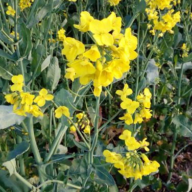 Close up of oilseed rape flower