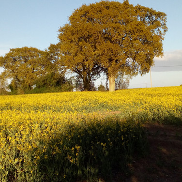 Sunny oilseed rape field