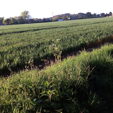 Shottenden viewed across wheat field