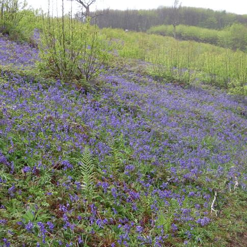 Bluebells on bank coppiced last year