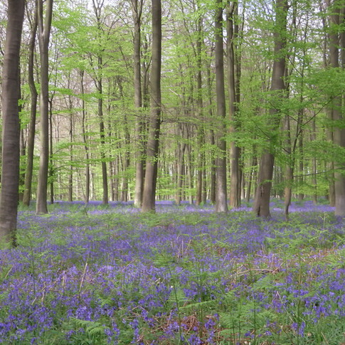 Bluebells thrive under beech trees
