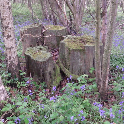 Mossy old coppiced stumps