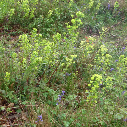 Large clumps of spurge on open ground