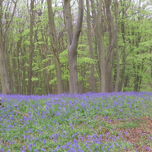 Bluebells among the beech trees
