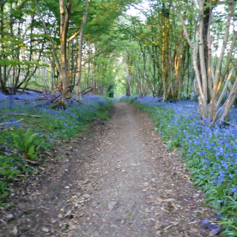 Bluebell bordered track to Chilham