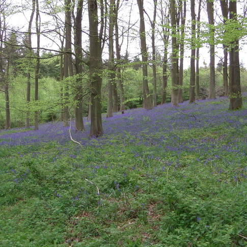 Bluebells in varying forest types