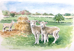 Hampshire lambs