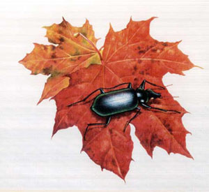 Bryan Ceney beetle_leaf.jpg