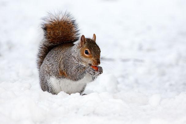 squirrel_in_winter_194812.jpg