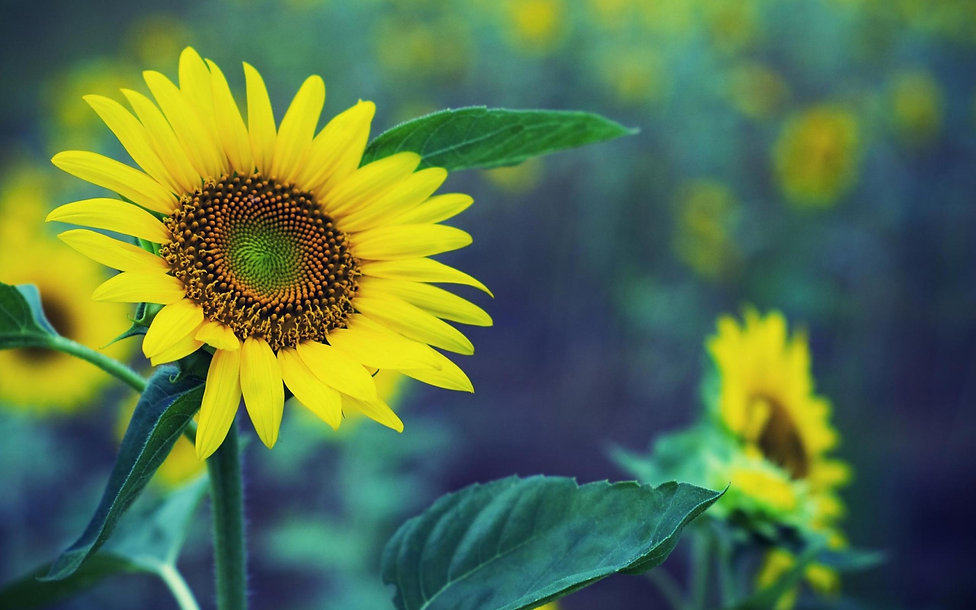 Sunflower+Plant+with+Soft+Background.jpg