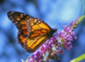 Spring Scene - Monarch on Flower.jpg