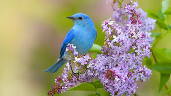 Spring Scene - Bluebird on Lilac.jpg