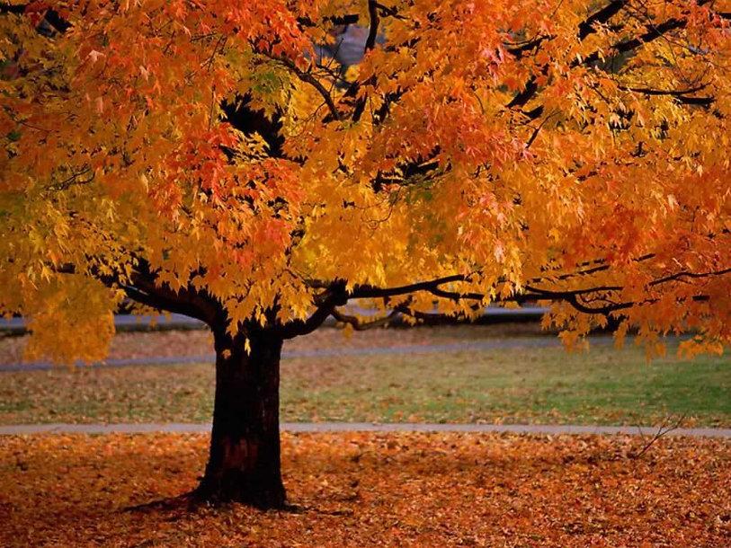 Autumn Scene - Beautiful Tree.jpg