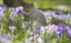 Spring - Squirrel with Crocuses.jpg