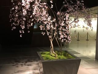 HOTEL NAGOYA CASTLE 春の桜装飾