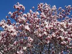 magnolia-tree.jpeg