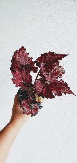 Begonia Rex 'Ruby Slippers'