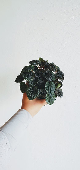 Peperomia Dark Emerald Ripple