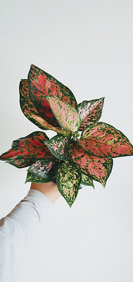 Aglaonema 'Ruby Red'