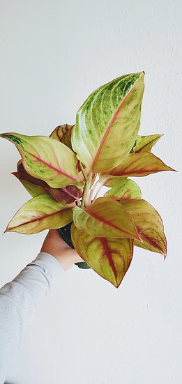 Aglaonema 'Golden Madonna'