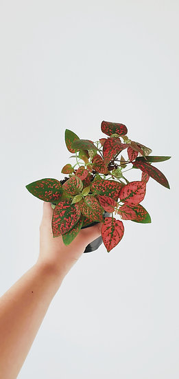 Hypoestes - Red